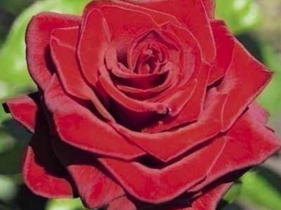 Роза Asdgsdfg